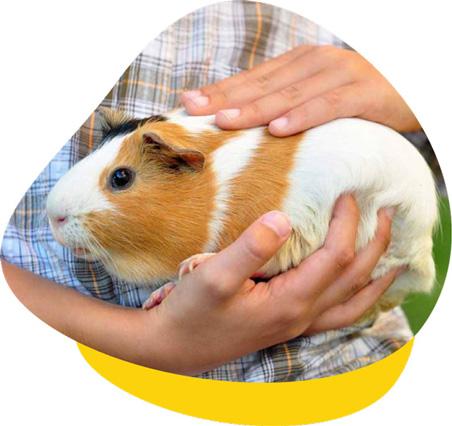 Guinea Pig Vet Clinic