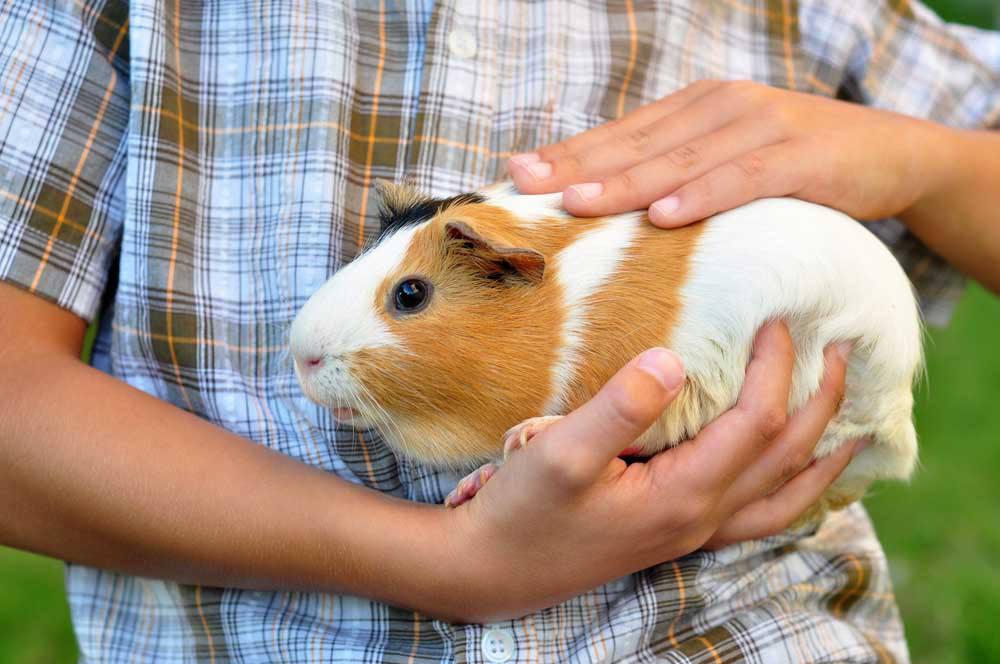 Guinea Pig Vet Perth The Unusual Pet Vets