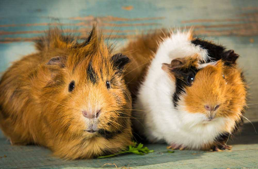 Guinea Pig And Cat Videos