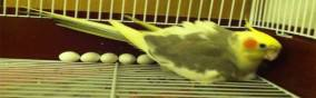 Chronic Egg Laying in Birds