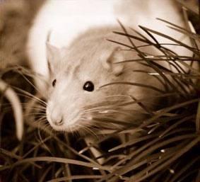 Rat Respiratory Disease