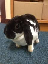 Updated Rabbit Calici-Virus Vaccination Protocol!