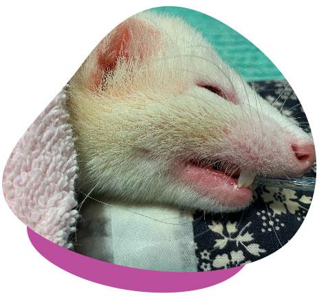 Ferret in Surgery