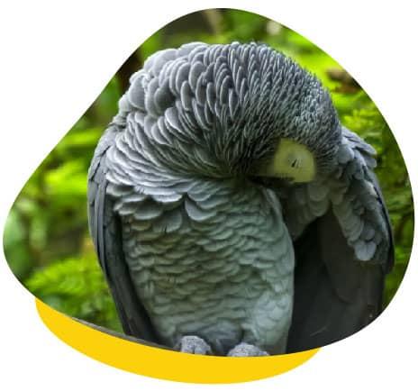 Parrot wing groom