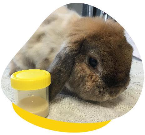 Rabbit urine sample
