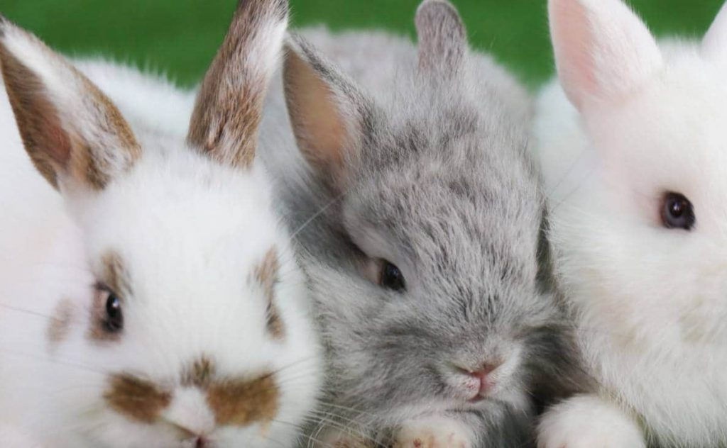 Bunnies For Sale Near Me >> Rabbits For Sale Near Me