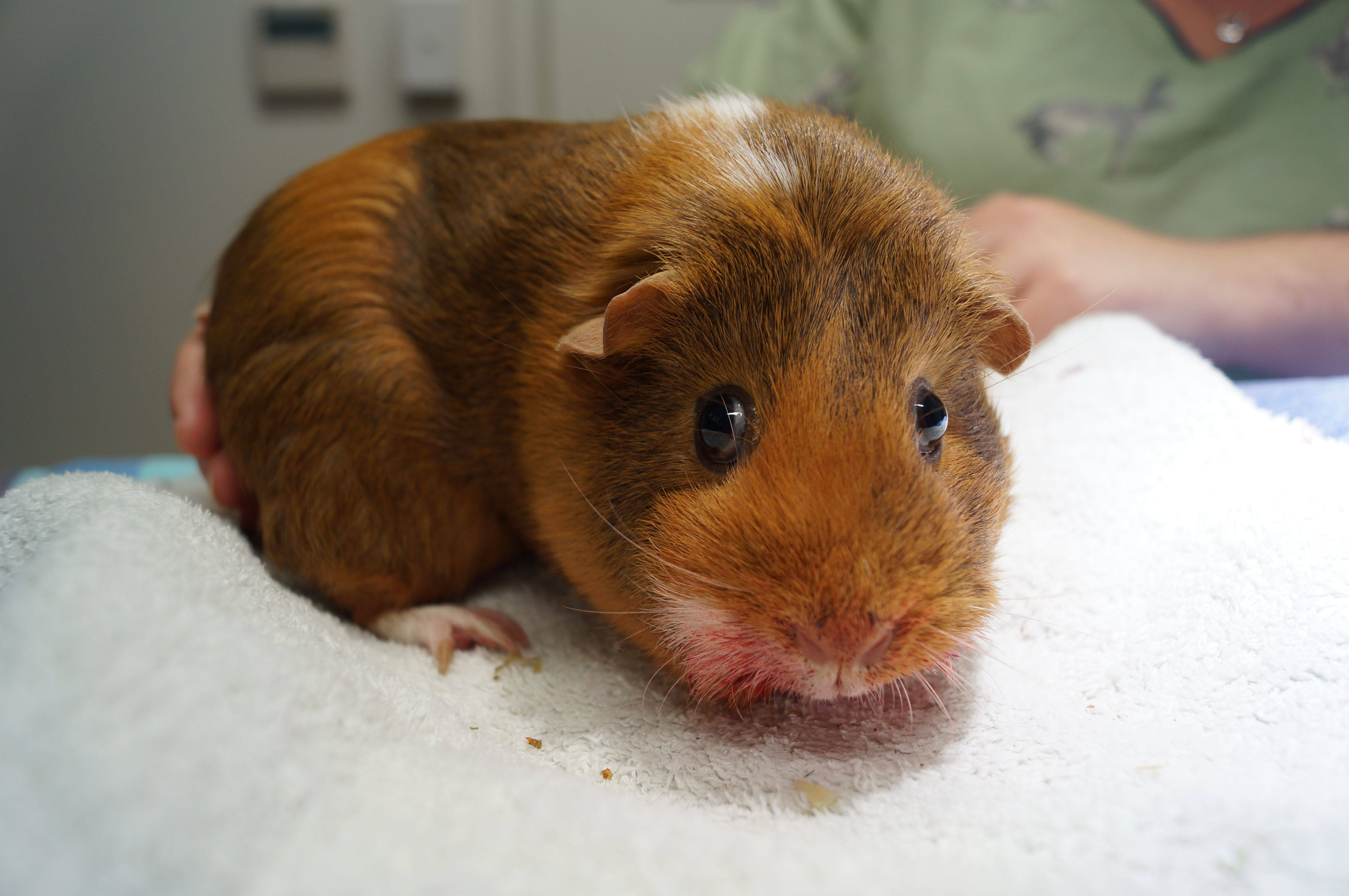 how to take care of a ginny pig