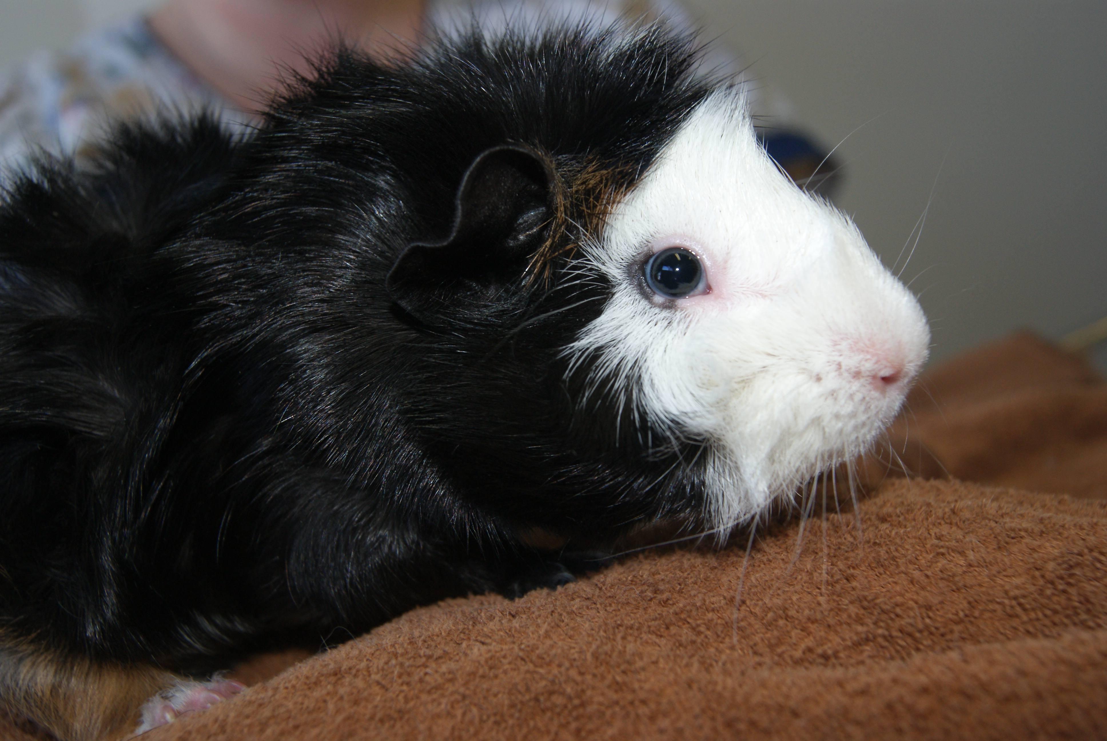 Guinea Pig Vet Perth Amp Melbourne The Unusual Pet Vets