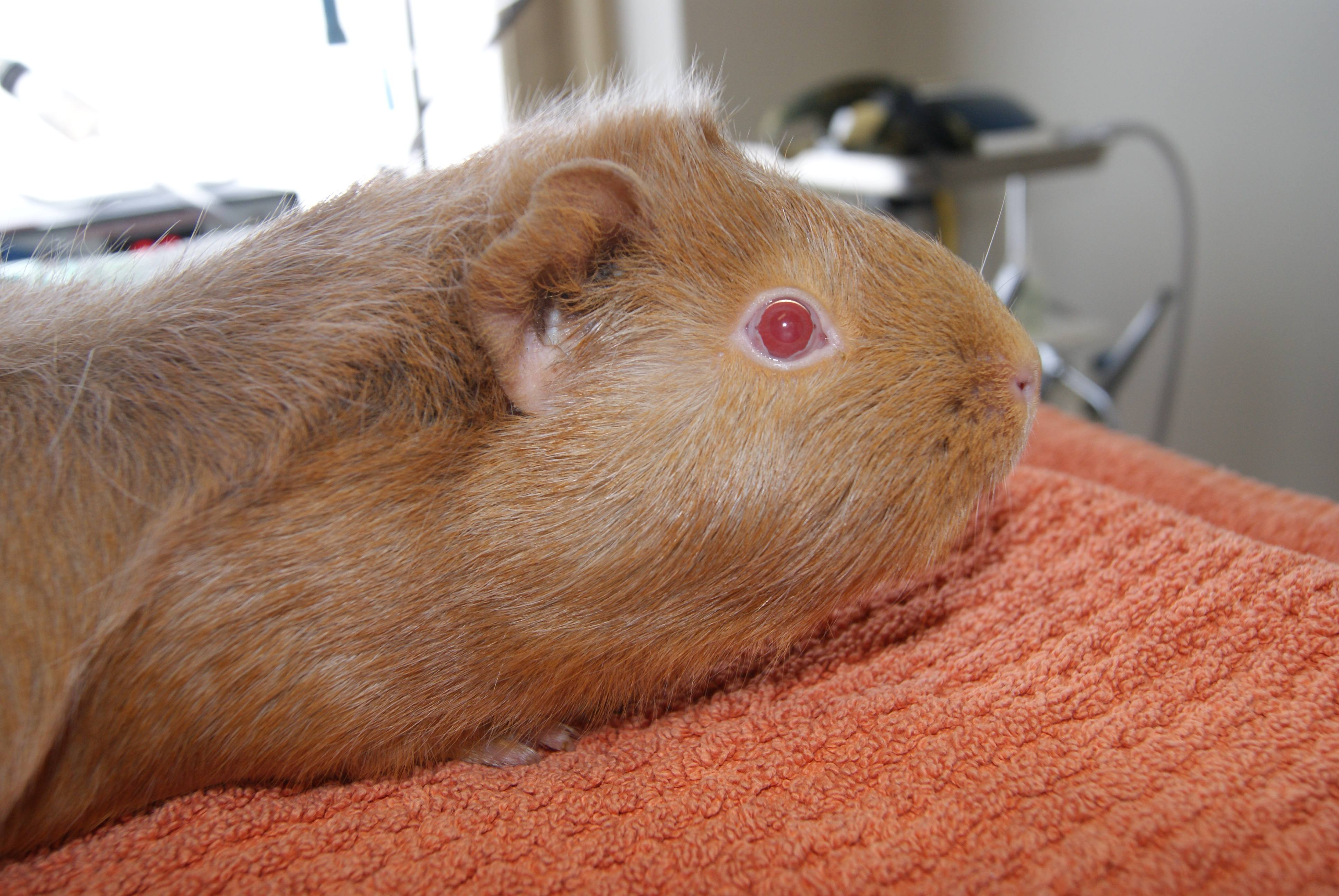 We're Your Expert Guinea Pig Vet Clinic in Perth & Melbourne