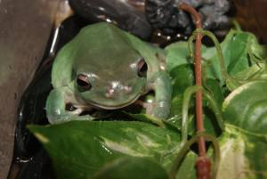 Green tree frog skin disease