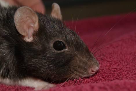 Why is my rat sneezing?