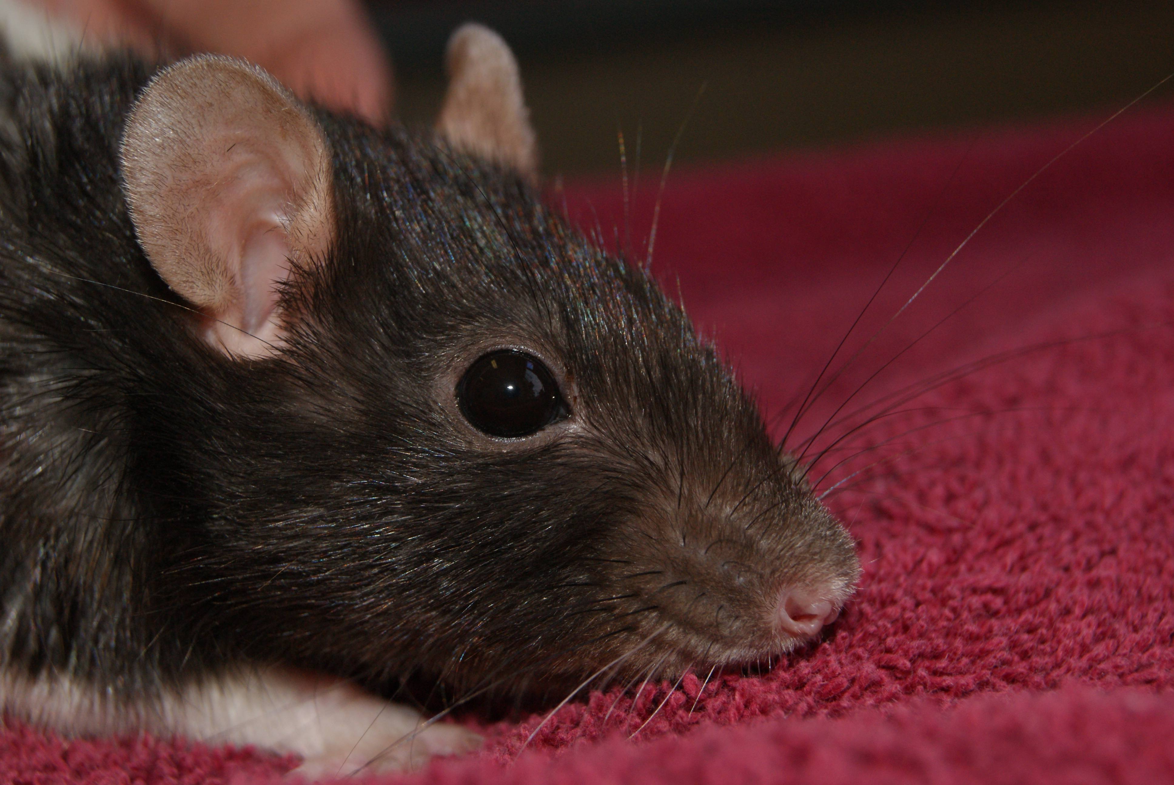 rats and mice vet