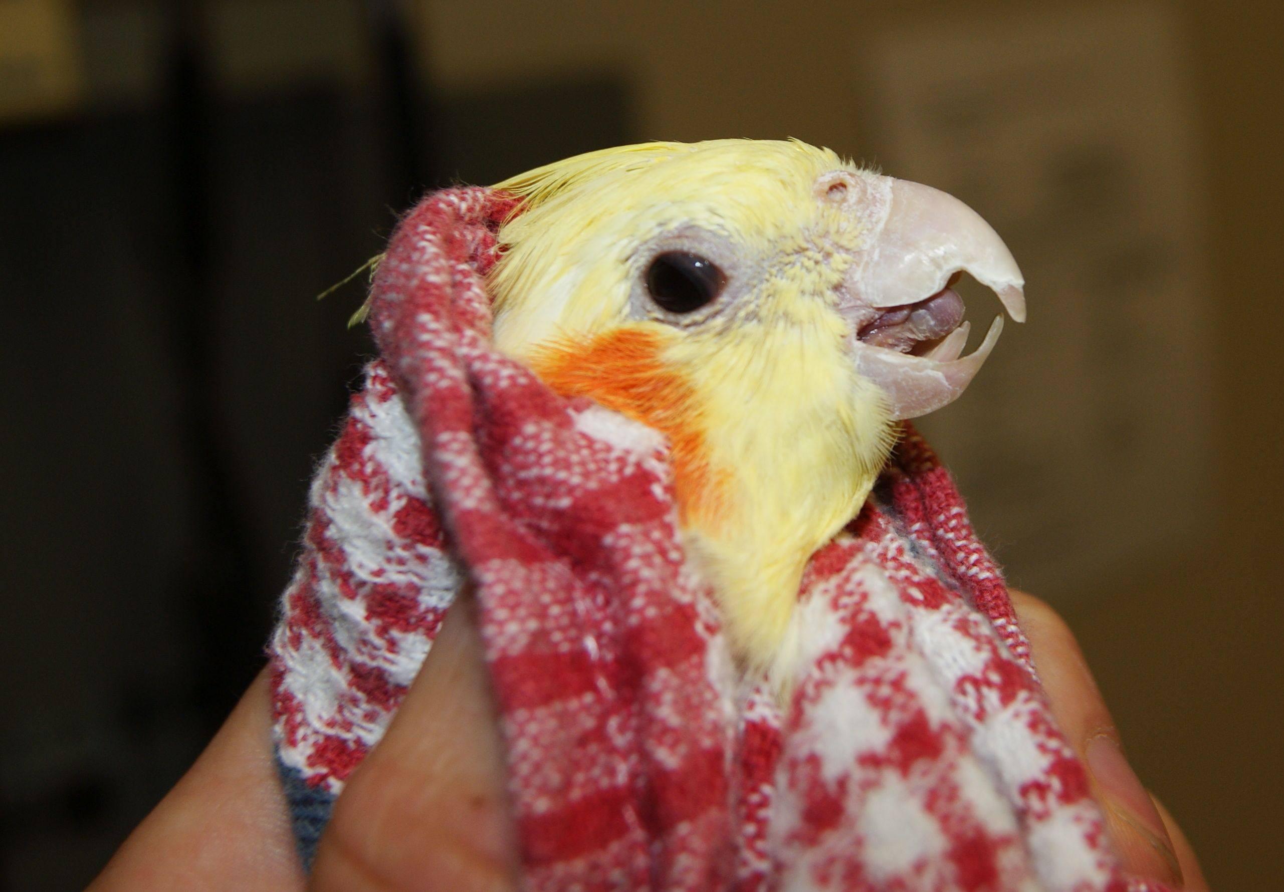 Corella parrots: care and maintenance at home 37