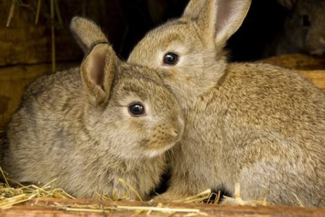 Are two rabbits better than one?