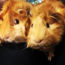 Guinea Pig Information Night!