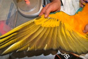 Macaw wing clip