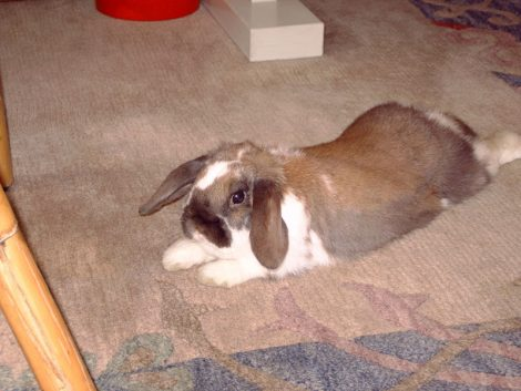 How to Ensure That Your Carpet Remains Rabbit-Proof and Rabbit Friendly