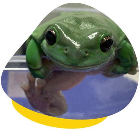 greem tree frog