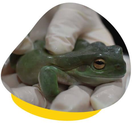 green tree frog held