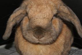 Rabbit Ear Diseases