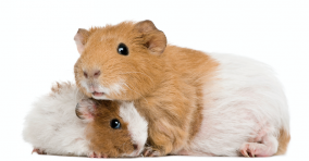 Is my Guinea Pig a boy or a girl? Guinea Pig Reproduction 101