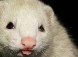 Desexing in ferrets