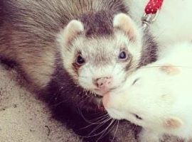 Ferret Enrichment Ideas