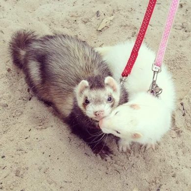 Ferret Enrichment Ideas (11 Ways to Keep Your Pet Busy)