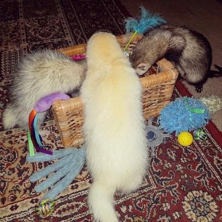 Ferrets Playing Together