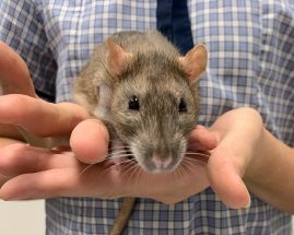 Desexing Your Pet Rat