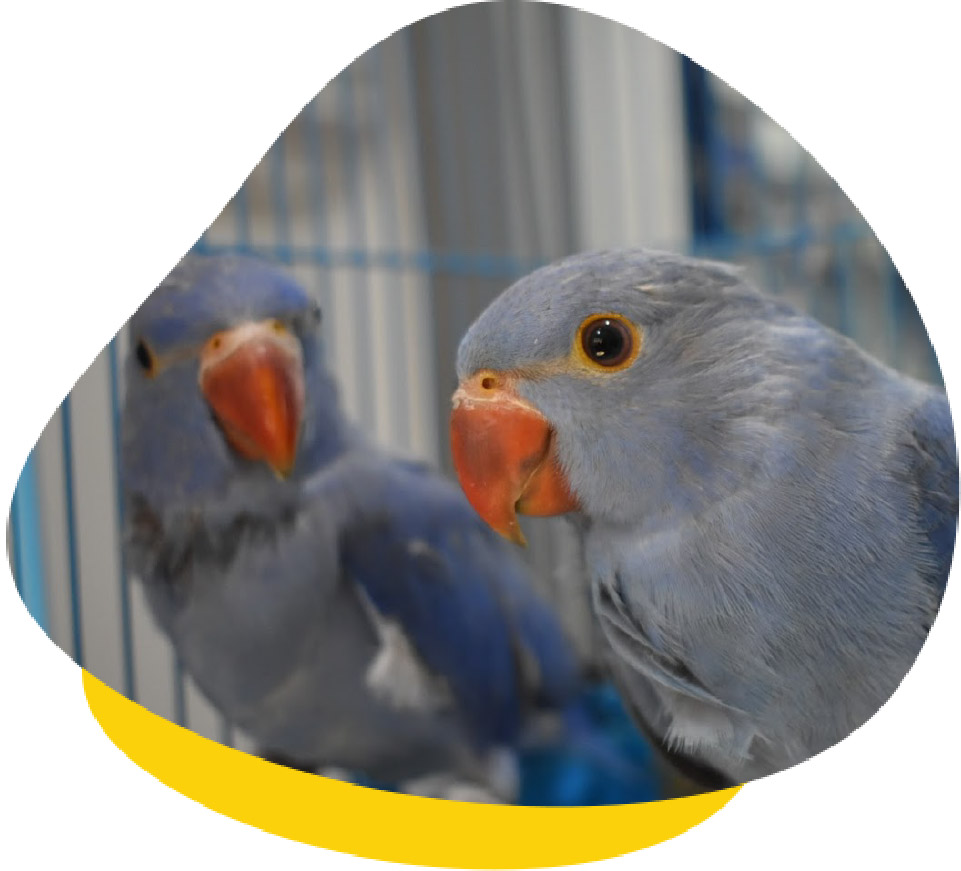 Baby Indian Ringnecks who came in for DNA sexing