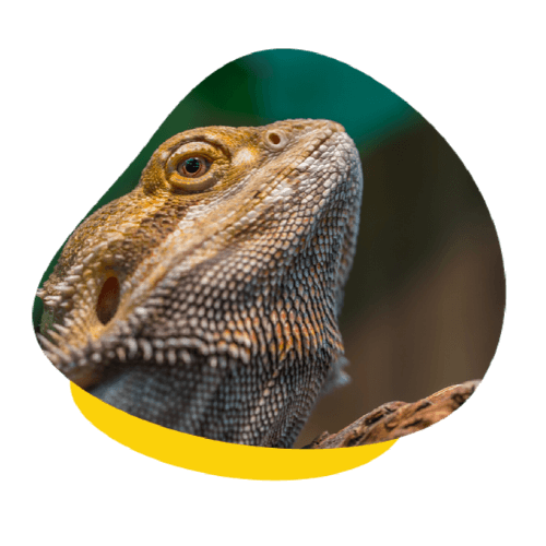 upv bearded dragon