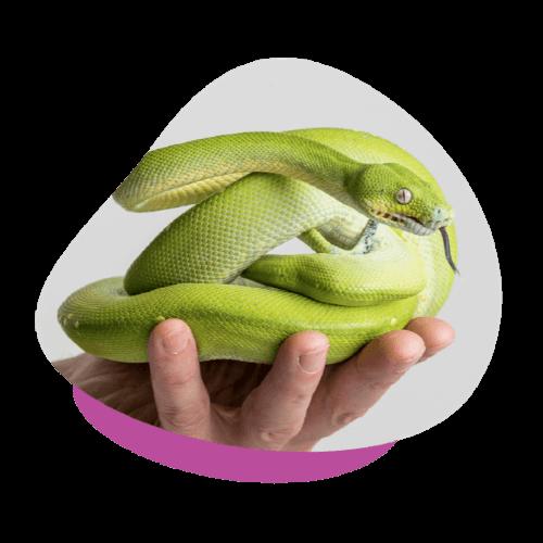 upv green tree python