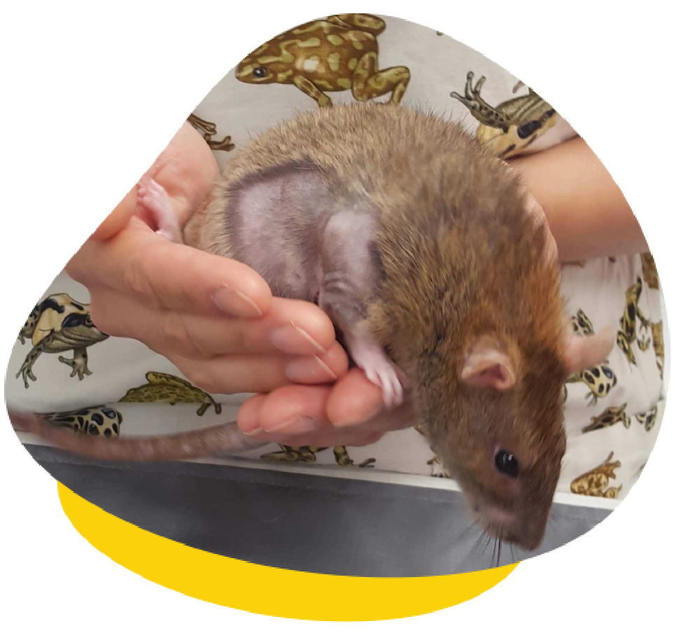 Species We Treat Services FAQ About Us Blog Locations Contact Lumps and Bumps in Mice and Rats
