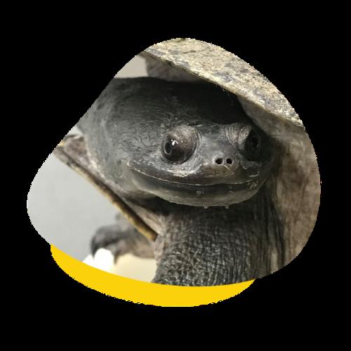 Caring For Australian Turtles Housing Feeding More