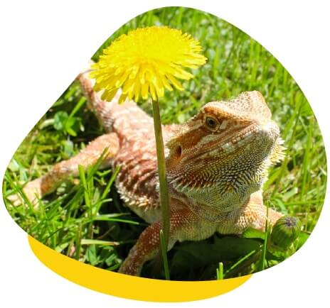 Bearded dragon flower