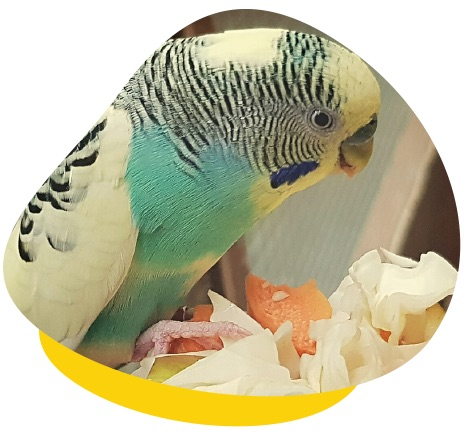 Budgie eating