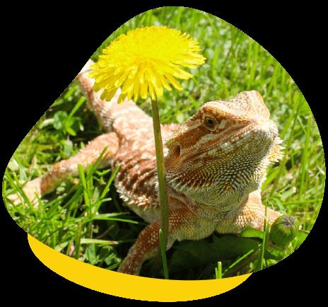 Bearded dragon uv