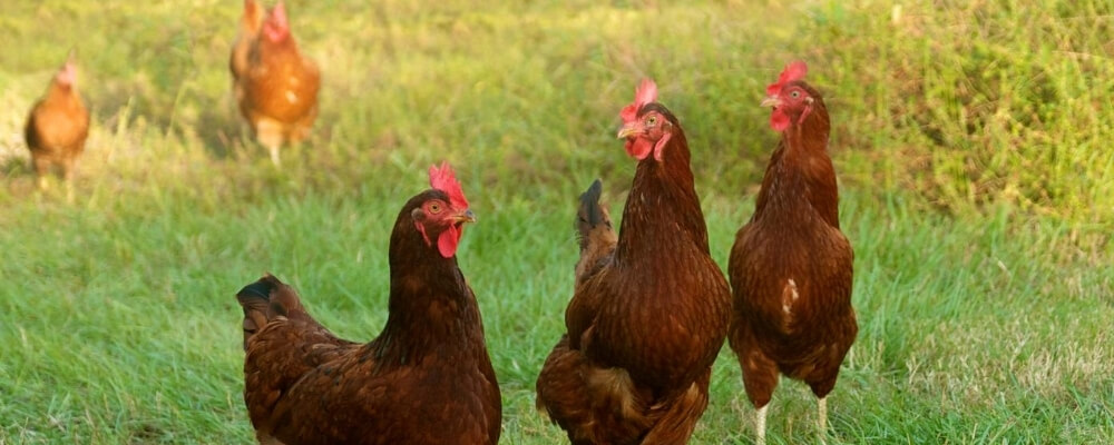 Blog preview image chickens