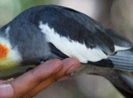 Cockatiel care blog image