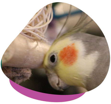 cockatiel resting head