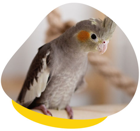 grey cockatiel