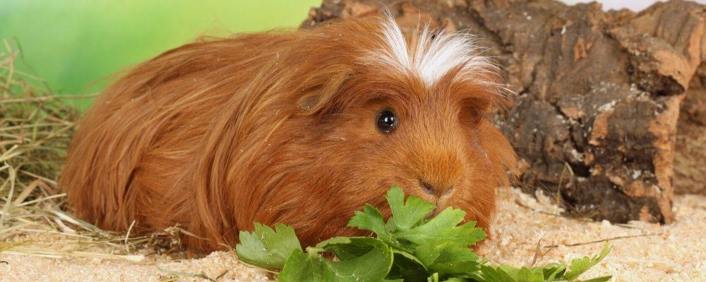 Guinea pig dental disease blog image