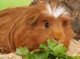 Guinea pig dental disease blog image