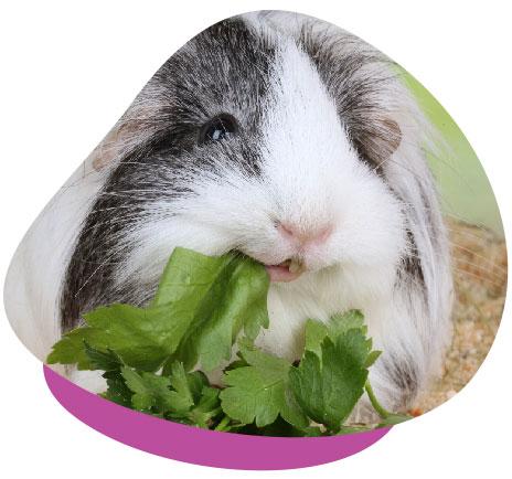 Guinea pig eating greens