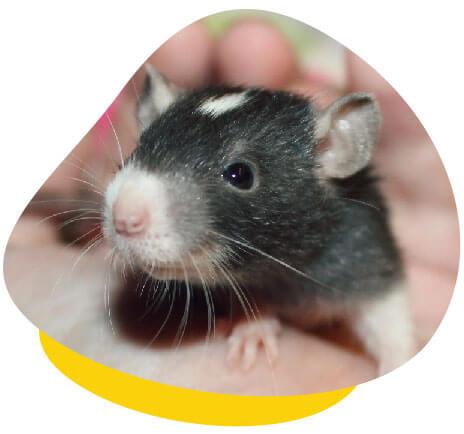 Rat in hands