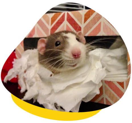 Rat in tissue box