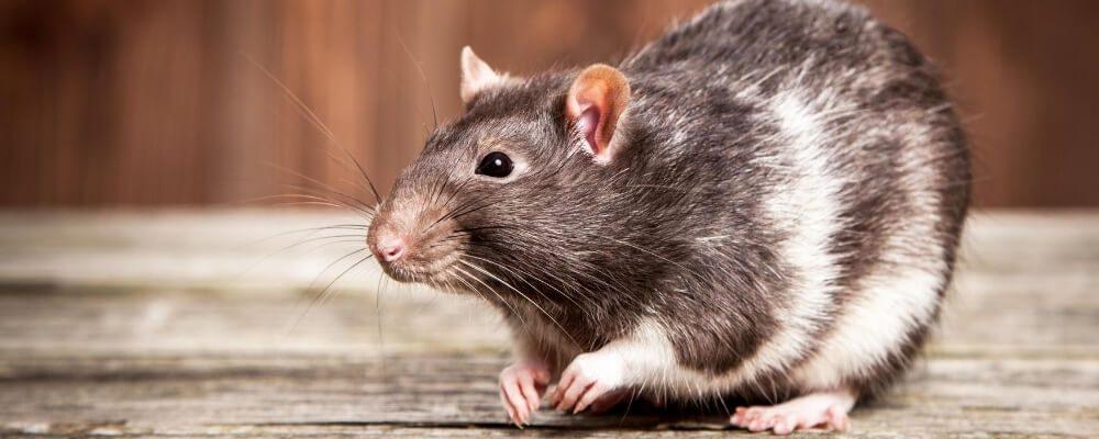 Rat respiratory disease blog