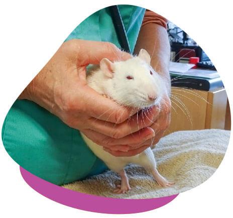 Rat vet examination