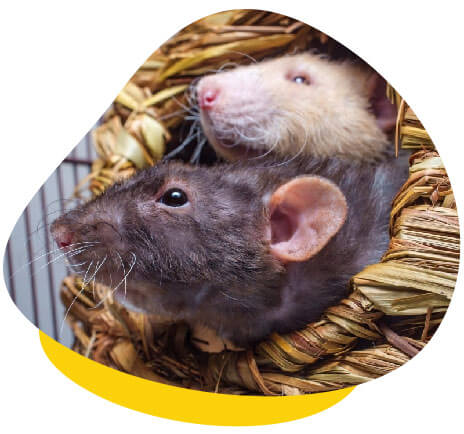 Two rats hiding